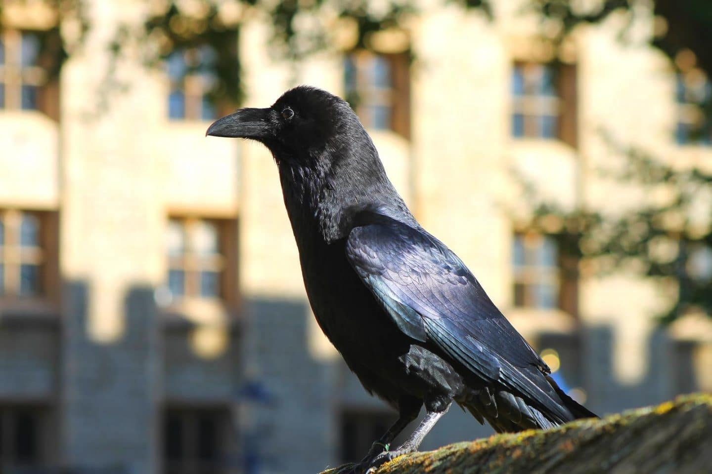 One of the Ravens at Tower of London