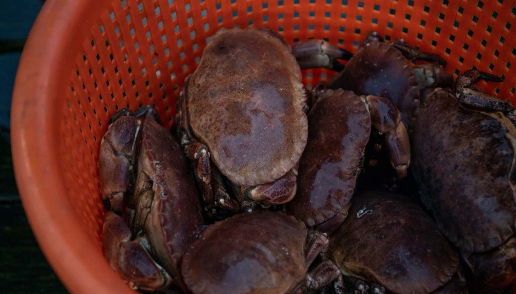 Seafood: Gilleleje harbour crabs. Picking crab meat takes time